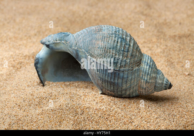 Mud Dog Whelk