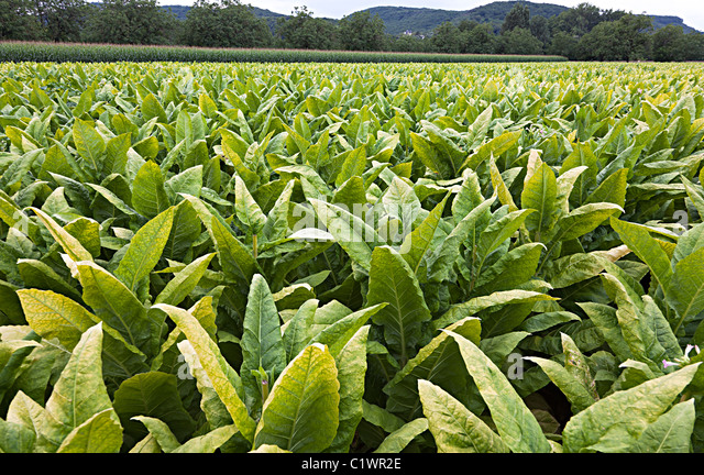 Tobacco Crop Stock Photos & Tobacco Crop Stock Images - Alamy