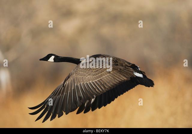 Canada Goose chateau parka replica authentic - Canada Goose Stock Photos & Canada Goose Stock Images - Alamy