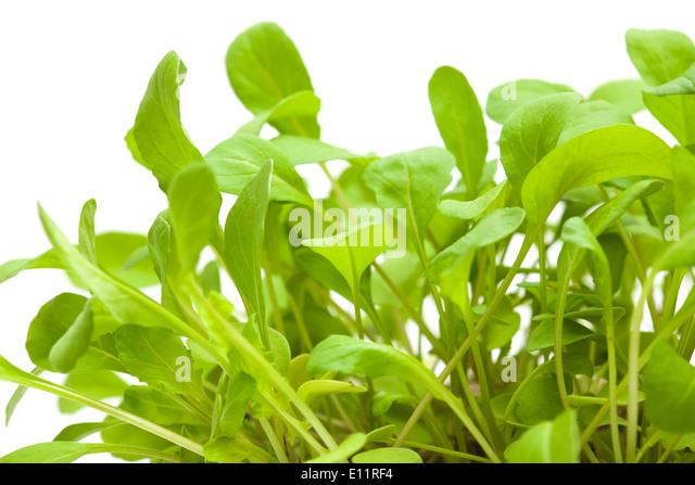 Growing Rocket Salad Stock Image