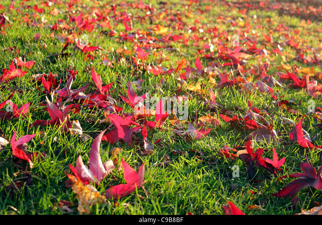 Exceptional Maple Tree With Autumn Leaves At Smithu0027s Lawn Near Savill Garden Windsor  England UK   Stock