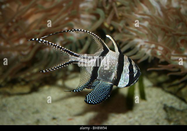 banggai cardinalfish - photo #47