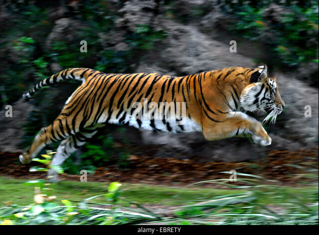 Tiger Jumping Stock Photos & Tiger Jumping Stock Images ...