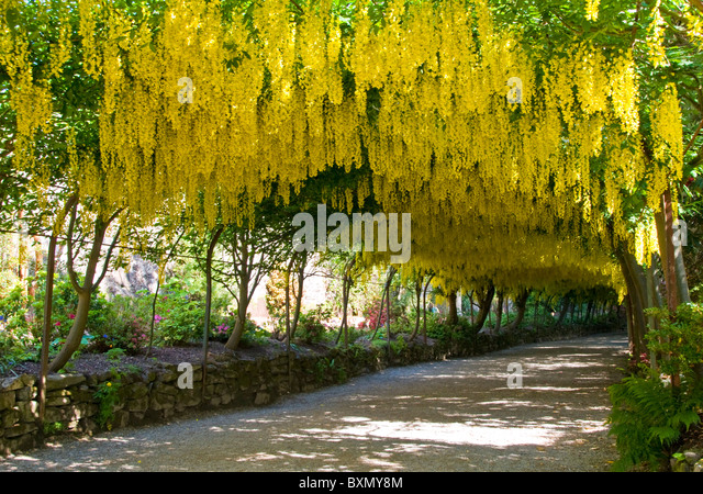 Seductive Bodnant Laburnum Arch Stock Photos  Bodnant Laburnum Arch Stock  With Goodlooking The Laburnum Arch Bodnant Gardens Near Colwyn Bay Clwyd North Wales With Amusing Batsford Garden Centre Also Emmetts Garden National Trust In Addition Garden Vouchers Free Delivery And Garden Border Edging Wood As Well As Small Garden Border Designs Additionally  Garden Court From Alamycom With   Goodlooking Bodnant Laburnum Arch Stock Photos  Bodnant Laburnum Arch Stock  With Amusing The Laburnum Arch Bodnant Gardens Near Colwyn Bay Clwyd North Wales And Seductive Batsford Garden Centre Also Emmetts Garden National Trust In Addition Garden Vouchers Free Delivery From Alamycom