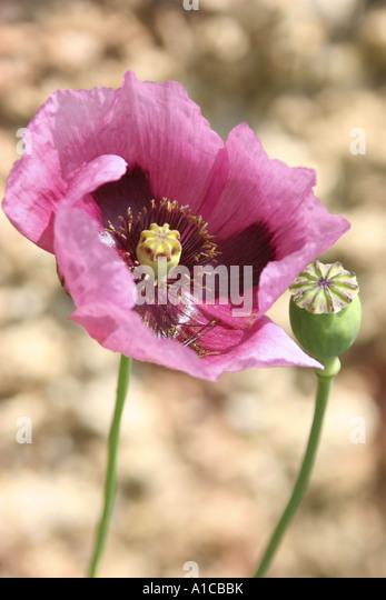 opium poppy  Papaver s...
