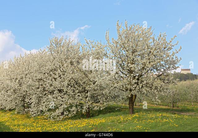 Cherry trees germany stock photos cherry trees germany stock images alamy - Romanian cherry tree varieties ...