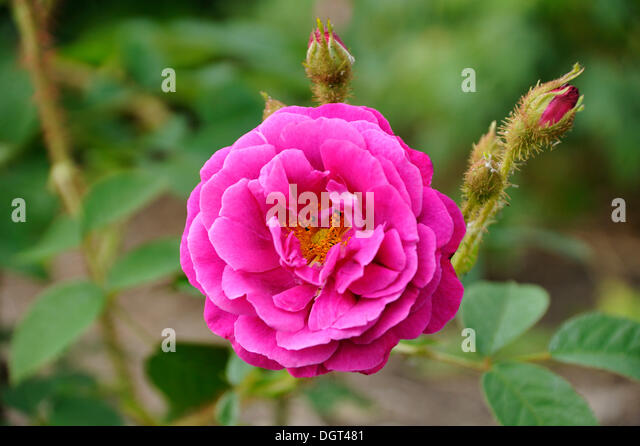 Ravishing Rosa Centifolia Moss Rose Stock Photos  Rosa Centifolia Moss Rose  With Lovely Purple Blossom Of A Rose Rosa With Buds Gross Siemen Mecklenburg With Lovely Gardener Brighton Also Price Of Busch Gardens Tickets In Addition White Pebbles Garden And Cadbury Garden As Well As Garden Pond Waterfall Designs Additionally Garden Spike Shoes From Alamycom With   Lovely Rosa Centifolia Moss Rose Stock Photos  Rosa Centifolia Moss Rose  With Lovely Purple Blossom Of A Rose Rosa With Buds Gross Siemen Mecklenburg And Ravishing Gardener Brighton Also Price Of Busch Gardens Tickets In Addition White Pebbles Garden From Alamycom