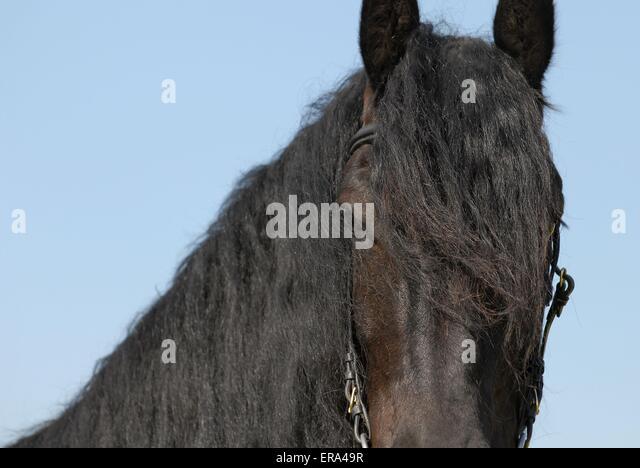friesian horse stock photos  u0026 friesian horse stock images