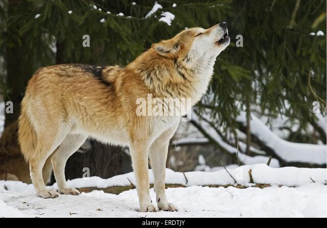 Red Wolf Howling Red Wolf Howling   www...