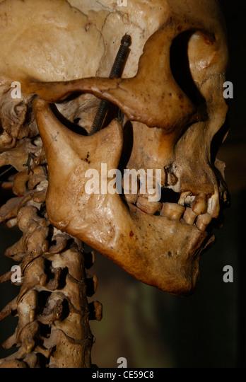 lab skeleton stock photos & lab skeleton stock images - alamy, Skeleton