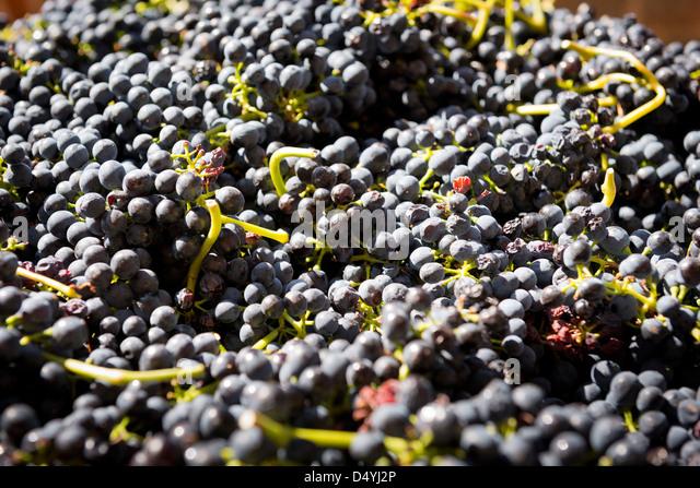 how to grow grapes australia
