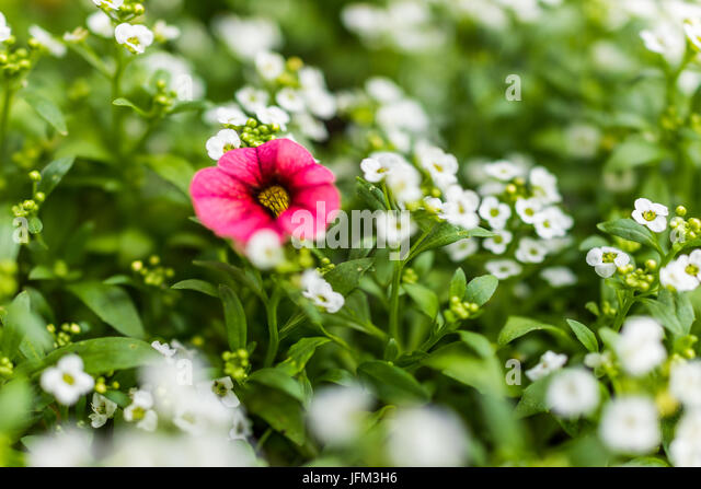 Pink flower four petals closeup stock photos pink flower four macro closeup of one red pink calibrachoa flower in bed of tiny white flowers stock mightylinksfo