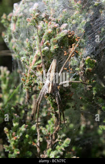Female Nursery-web spider Pisaura mirabilis Guarding Her Silken Tent Of Spiderlings Cannock Chase & Lycosoidea Stock Photos u0026 Lycosoidea Stock Images - Alamy