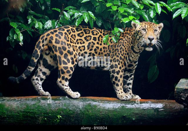 jaguar standing - photo #4