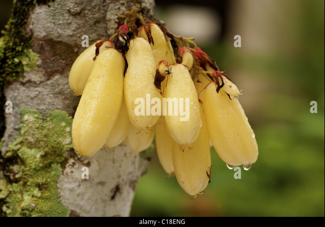 averrhoa bilimbi Common name:bilimbi, cucumber tree, tree sorrel ethnic names:kamias, belimbing asam, belimbing buloh, bimbiri scientific name:averrhoa bilimbi origin:malaysia and.