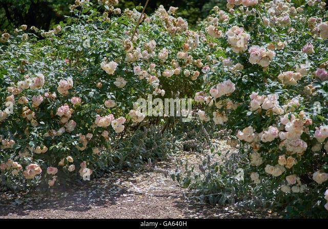 White Garden Rose Bush