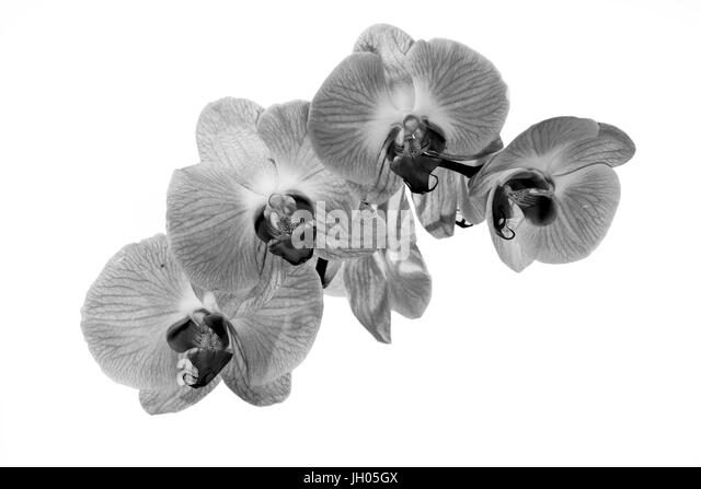 flowers still life black and white stock photos amp images