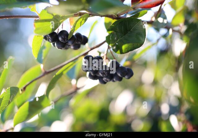 Aronia berries australia