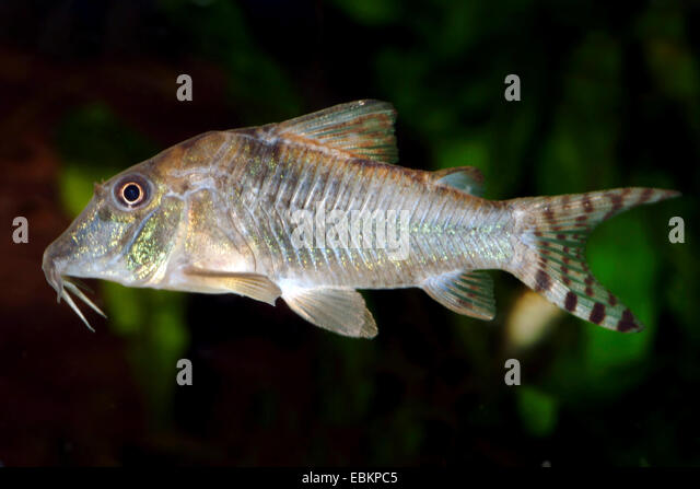 Myers catfish (Corydoras rabauti, Corydoras myersi), swimming - Stock ...