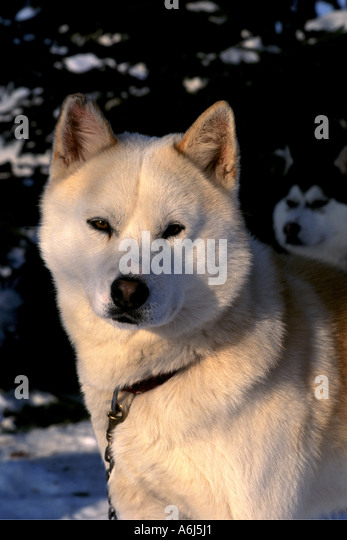 Siberian Husky Quebec Siberien Stock ...
