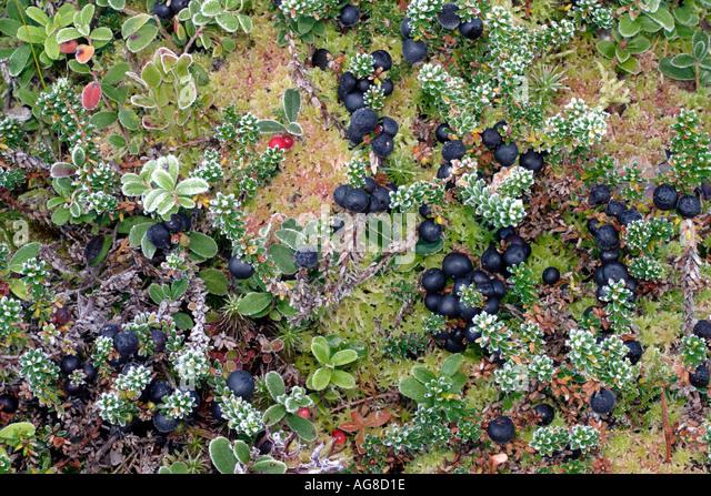 Edible Berries of Nova Scotia  Northern Bushcraft