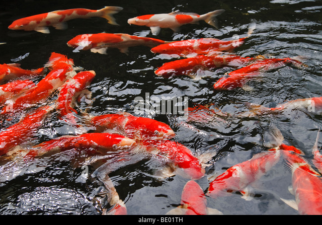 Koi japan stock photos koi japan stock images alamy for Koi holding pool