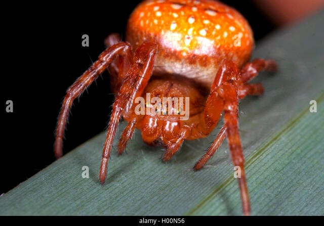 strawberry spider araneus alsine stock photos strawberry spider araneus alsine stock images. Black Bedroom Furniture Sets. Home Design Ideas