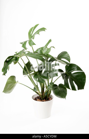 Philodendron pot stock photos philodendron pot stock images alamy - Green leafy indoor plants ...