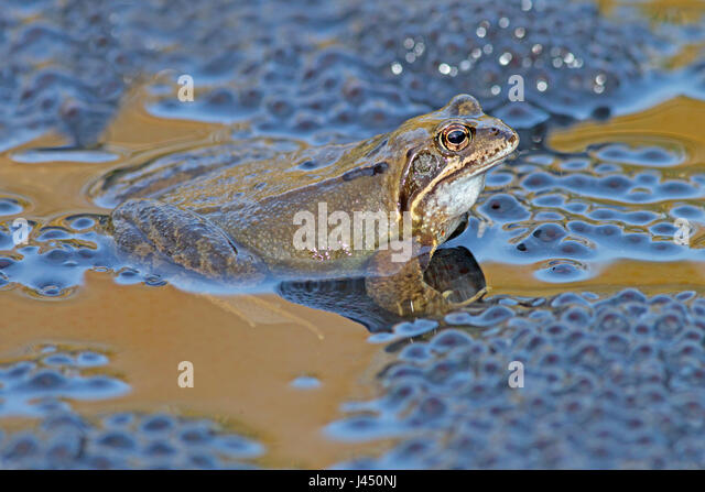 common frog male on top of frog spawn during mating - Stock Image