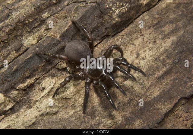 Trap door spider  Idiops sp Idiopidae Eravikulam National Park Kerala. India & Trap Door Spider Stock Photos \u0026 Trap Door Spider Stock Images - Alamy Pezcame.Com
