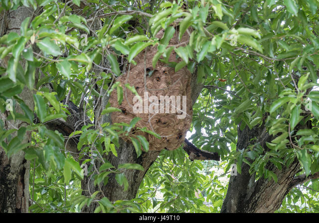 Wasp Nest In Tree Stock Photos & Wasp Nest In Tree Stock ...