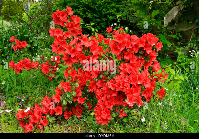 Evergreen azalea stock photos evergreen azalea stock for Azalea japonica