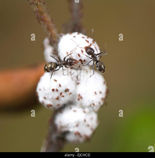 how to kill mealy bugs australia