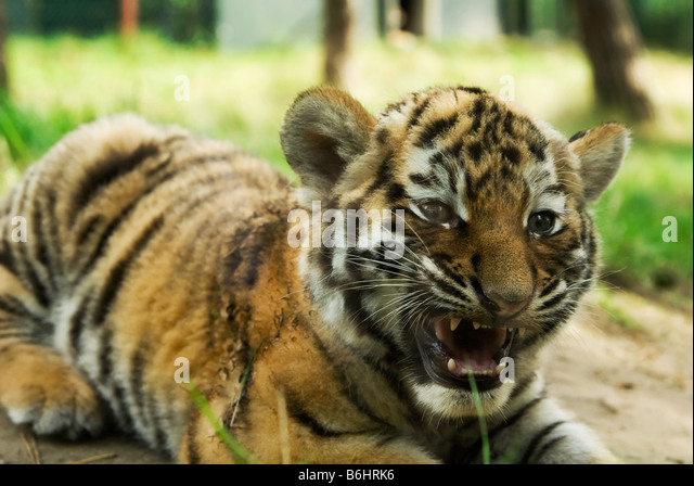 Cute Siberian Tiger Cubs | www.imgkid.com - The Image Kid ... Cute Siberian Tiger Cubs