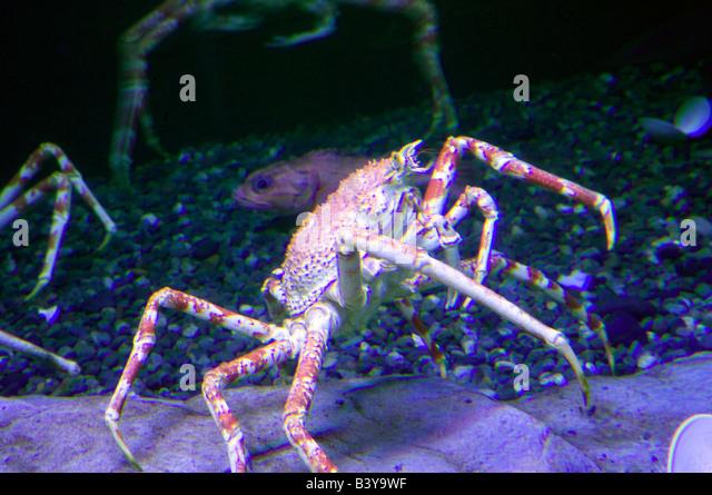japanese spider crab oregon coast aquarium newport oregon stock image