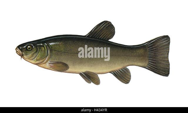 Freshwater Fish Tinca Stock Photos & Freshwater Fish Tinca ...