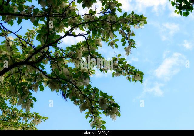 Davidia involucrata stock photos davidia involucrata for Garden deciduous trees
