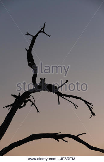 A leopard, Panthera pardus, resting in a tree top at dusk. - Stock Image