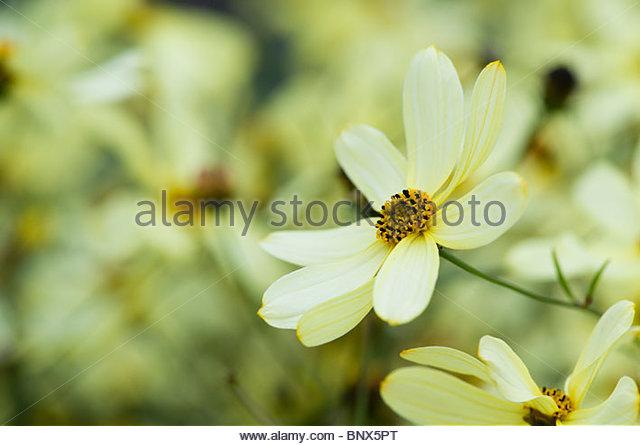threadleaf coreopsis moonbeam tickseed stock image - Threadleaf Coreopsis
