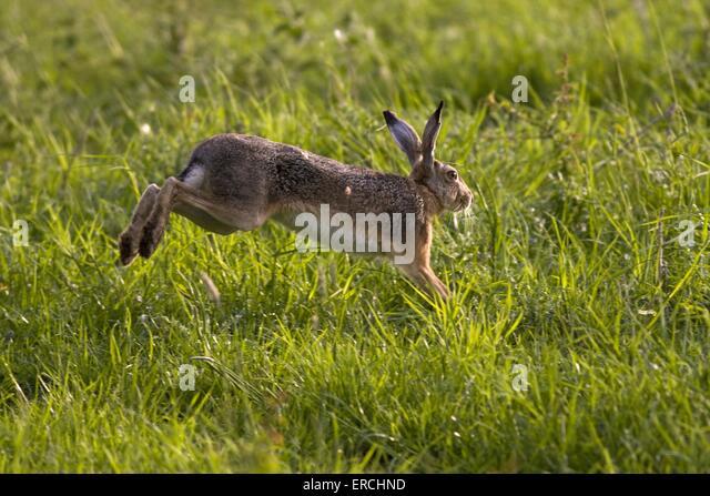 Brown Rabbit Jumping Stock Photos Amp Brown Rabbit Jumping