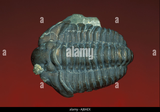Calymene Fossil Trilobite Stock Photos & Calymene Fossil ...