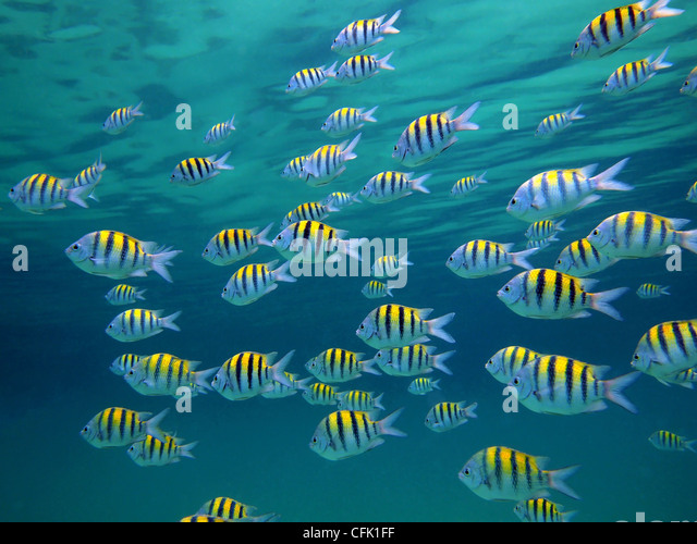 Sergeant Major Fish Stock Photos & Sergeant Major Fish