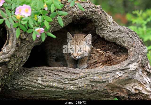 25  best ideas about Baby bobcat on Pinterest