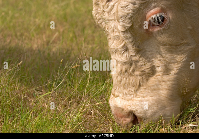charolais bull in field stock photos charolais bull in field stock images alamy. Black Bedroom Furniture Sets. Home Design Ideas