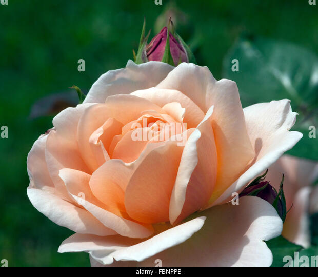 david austin rose stock photos david austin rose stock images alamy. Black Bedroom Furniture Sets. Home Design Ideas
