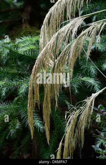 Ornamental grasses border grasses stock photos for Ornamental grasses with plumes