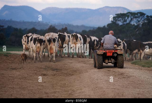 farm australia cows man stock photos farm australia cows man stock images alamy. Black Bedroom Furniture Sets. Home Design Ideas