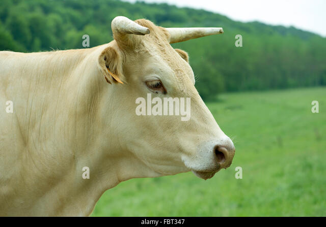 Cow  side view - Stock...