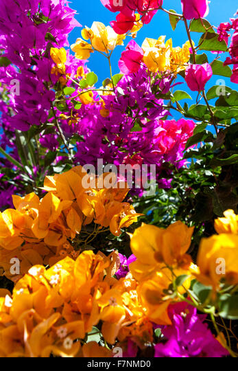 Pink bougainvillea flowers santorini greece stock photos pink bougainvillea flowers santorini - Flowers native to greece a sea of color ...
