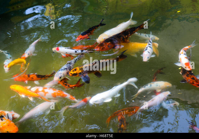 Colorful small tropical fish swim stock photos colorful for Colorful pond fish